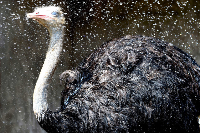 An ostrich is sprayed with water for cooling at the Zoo of Caocao Park on July 20, 2014 in Bozhou, Anhui Province of China.  According to the weather forecast, the temperature will be above 35 degrees Celsius (95 degrees Fahrenheit) in Huanghuai and Jianghuai plains. (Photo by ChinaFotoPress/ChinaFotoPress via Getty Images)