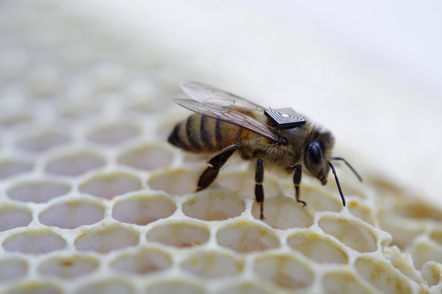 This undated handout picture released August 25, 2015 by Australia's national science agency the Commonwealth Scientific and Industrial Research Organisation (CSIRO) shows a micro-sensor glued onto the back of a honey bee to monitor its movements. Australian scientists revealed on August 25, 2015 they are using micro-sensors attached to honey bees as part of a global push to understand the key factors driving a worldwide population decline of the pollinators. (Photo by AFP Photo/CSIRO)