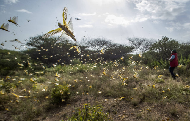 In this photo taken Saturday, February 1, 2020, desert locusts jump up from the ground and fly away as a cameraman walks past, in Nasuulu Conservancy, northern Kenya. As locusts by the billions descend on parts of Kenya in the worst outbreak in 70 years, small planes are flying low over affected areas to spray pesticides in what experts call the only effective control. (Photo by Ben Curtis/AP Photo)