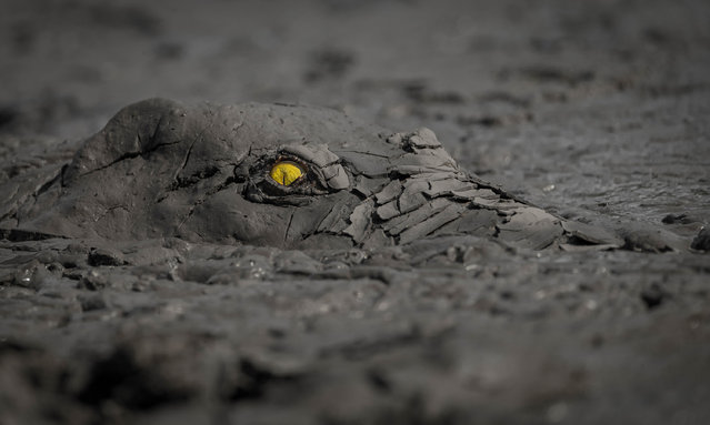 Winner, Other animals. Jens Cullmann – Danger in the Mud. Crocodile in a drying pool. (Photo by Jens Cullmann/2020 GDT Nature Photographer of the Year)