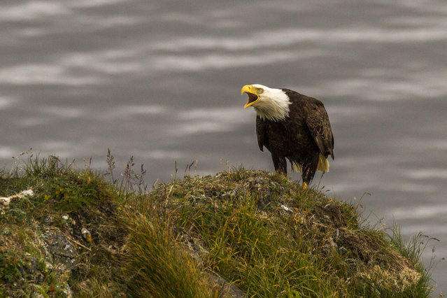 Daniel Fox spots a bald eagle during his kayaking trip, in July 2014, in Kodiak Island, Alaska. Driving in an open-roofed jeep is no longer the fashionable way to see wildlife – as this adventurer shows. (Photo by Daniel Fox/Barcroft Media)