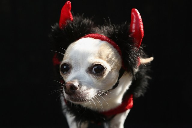 Pants, a Chihuahua, poses as a devil at the Tompkins Square Halloween Dog Parade on October 20, 2012 in New York City