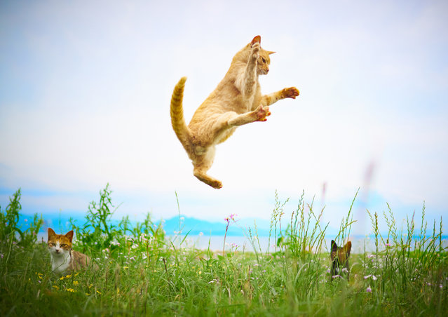 Once the cats are airborne, Hisakata uses his other hand to photograph the cats continuously using a fast shutter speed. (Photo by Hisakata Hiroyuki/Caters News Agency)