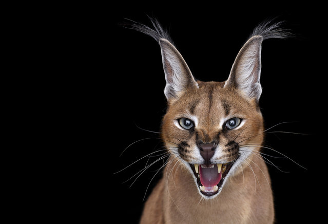 Caracal. (Photo by Brad Wilson/Caters News)