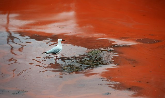 A seagull stands a red algae bloom discolouring the water at Sydney's Clovelly Beach on November 27, 2012, which closed some beaches for swimming including Bondi Beach for a period of time.  While the red algae, known as Noctiluca scintillans or sea sparkle, has no toxic effects, people are still advised to avoid swimming in areas with discoloured water because the algae, which can be high in ammonia, can cause skin irritation. (Photo by William West/AFP Photo)