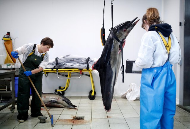Experts at the Observatoire Pelagis examine the bodies of dolphins, which were found dead on beaches, in a cold room at their marine research station in La Rochelle, France, February 14, 2020. (Photo by Stephane Mahe/Reuters)