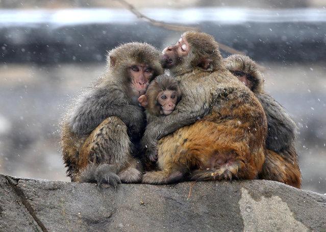 Monkeys hug amid snow at Huaguo mountain in Lianyungang, Jiangsu province, China December 14, 2017. (Photo by Reuters/China Stringer Network)