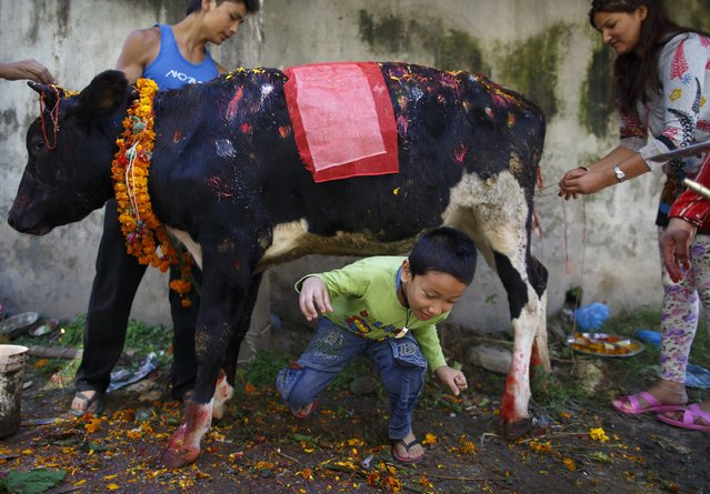 A boy crawls under a cow during a religious ceremony celebrating the Tihar festival, also called Diwali, in Kathmandu, October 23, 2014. Hindus all over Nepal are celebrating the festival during which they worship cows, which are considered a maternal figure, and other animals. Also known as the festival of lights, devotees worship the goddess of wealth Laxmi by illuminating and decorating their homes using garlands, oil lamps, candles and colourful light bulbs. (Photo by Navesh Chitrakar/Reuters)