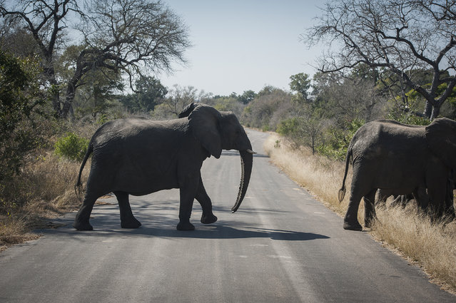 An elephant crosses the road in the Kruger National Park, South Africa, Wednesday, July 29, 2020. Animals have had the country's world-famous wildlife parks to themselves because of lockdown rules that barred international tourists and made it illegal for South Africans to travel between provinces for vacations. (Photo by Shiraaz Mohamed/AP Photo)