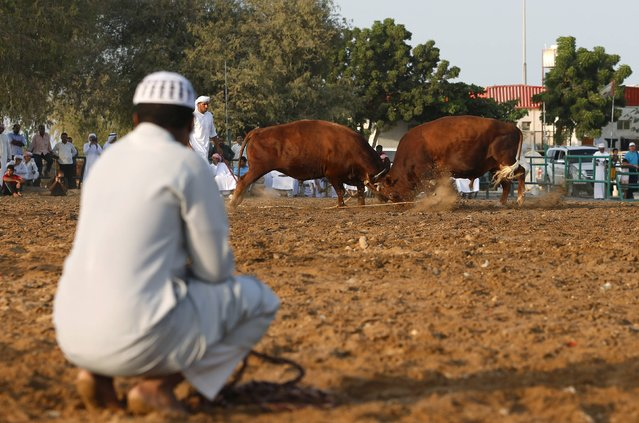 A man watches a bullfight between two bulls in the eastern emirate of Fujairah October 17, 2014. (Photo by Ahmed Jadallah/Reuters)