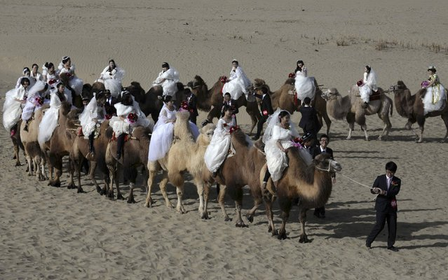Newly-wed grooms lead camels carrying their brides during a mass wedding in a desert at a tourism area containing a populus euphratica reserve in Yuli county, Xinjiang Uighur Autonomous Region, November 2, 2014. A total of 22 couples took part in the mass wedding on Sunday, local media reported. (Photo by Reuters/China Daily)