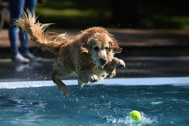 A dog jumps into the water after a ball during a dog swim day at an open-air pool in Munich, Germany, September 11, 2020. (Photo by Andreas Gebert/Reuters)