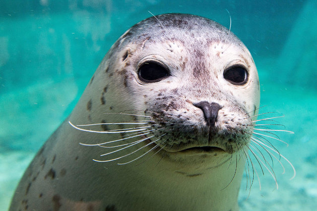 A young harbour seal (Phoca vitulina) looks on in their enclosure in the Wroclaw Zoo, in Wroclaw, Poland, 15 December 2014. (Photo by Maciej Kulczynski/EPA)