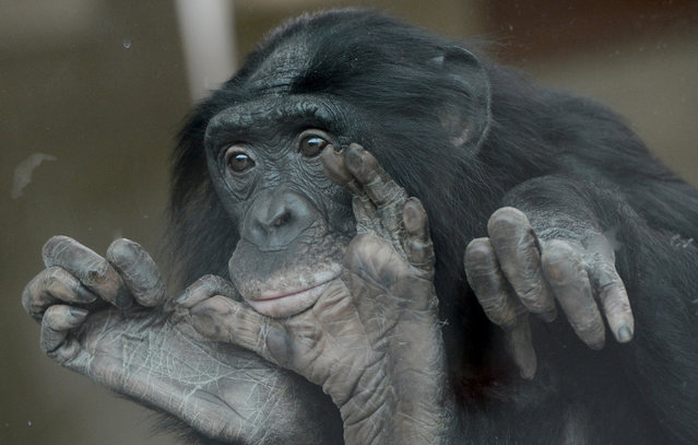 A bonobo looks through a window at the Wilhelma Zoo in Stuttgart, southern Germany. The bonobos of the Zoo just have moved to a new indoor enclosure. In the wild, the great apes live in the Congo Basin in Africa. (Photo by Franziska Kraufmann/Getty Images)
