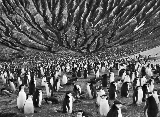 "A colony of chinstrap penguins mills about at the foot of Mount Michael, an active volcano in the South Sandwich Islands, in the far South Atlantic, where erosion has cut the volcanic ash into eerie crevices. ""These landscapes are as alive as I am,"" says Salgado. ""One day I was walking around rocks near a volcano that were one day old. They had just become solid"". (Photo by Sebastião Salgado/Amazonas/Contact Press Images)"