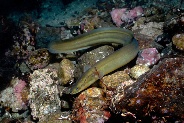 The European eel is declining due to disease, overfishing and changes to its freshwater habitat that impede its migration to the sea to breed. (Photo by Erling Svensen/WWF/PA Wire)