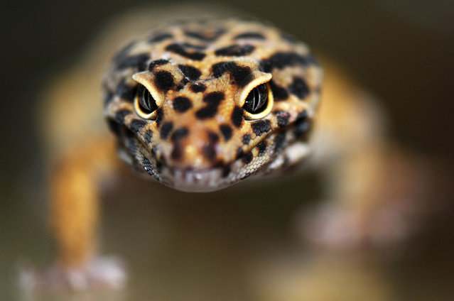 Close up of a leopard gecko taken at Wrigglies Exotic Pets store on January 8, 2015 in Dunstable, England. (Photo by Tony Margiocchi/Barcroft Media)