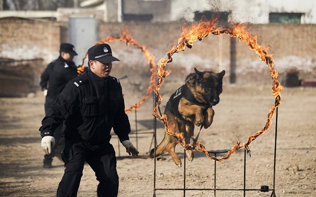A police officer watches a police dog jump through a burning hoop during a training session at a railway police station in Xianyang, Shaanxi province January 20, 2015. (Photo by Reuters/Stringer)
