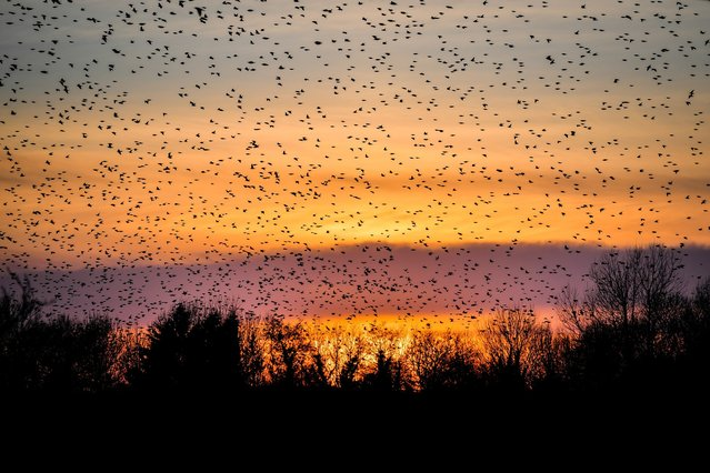 A murmuration of starlings pass Glastonbury Tor as they fly off to roost on the Somerset Levels at sunset on February 13, 2021. (Photo by Ben Birchall/PA Images/Profimedia)