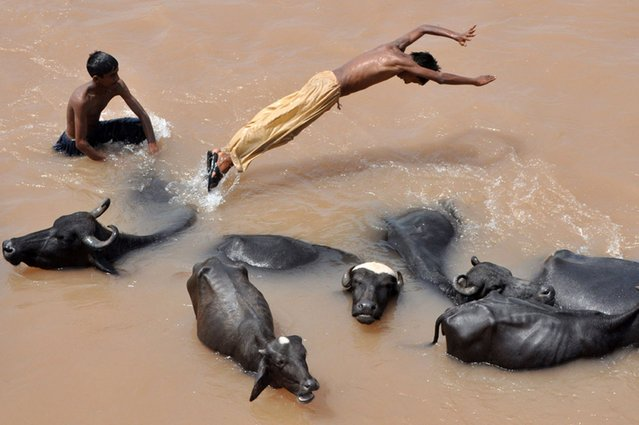 An Indian nomad herder leaps off the back of a water buffalo into the flooded waters of the River Tawi on the outskirts of Jammu, India, on August 25, 2013. (Photo by AFP Photo/Getty Images)