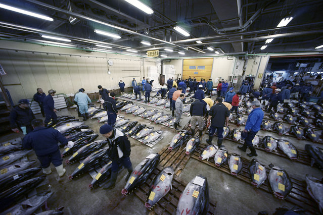 Prospective buyers inspect the quality of fresh tuna before the first auction of the year at Tsukiji fish market  in Tokyo, Tuesday, January 5, 2016.  In one of the biggest of Japan's many New Year holiday rituals, early on Tuesday, a huge, glistening tuna was auctioned for a lot of money at Tokyo's 80-year-old Tsukiji market. The world's biggest and most famous fish and seafood market is due to move in November to a massive new complex further south in Tokyo Bay. (Photo by Eugene Hoshiko/AP Photo)