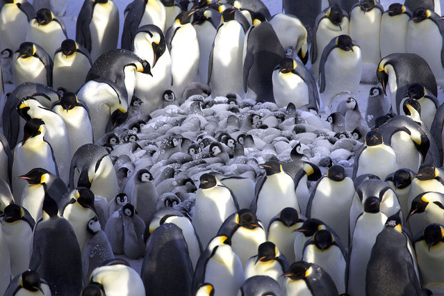 Emperor penguins gathered together to keep their chicks warm in these pictures. Marine scientist Frederique Oliver snapped the protective parents in Antarctica as they huddled against the huge winds.The adorable birds have to battle temperatures on -20 degrees Celsius as well as winds of up to 40 knots on the ice. (Photo by Frederique Oliver/Caters News)