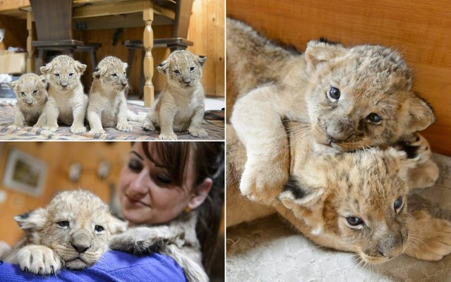 Lion cubs play in Szorako Zoo in Gyongyos, 79 kms northeast of Budapest, Hungary, on September 25, 2013. The four still unnamed cubs were born on August 29. (Photo by Peter Komka/AP Photo/MTI)