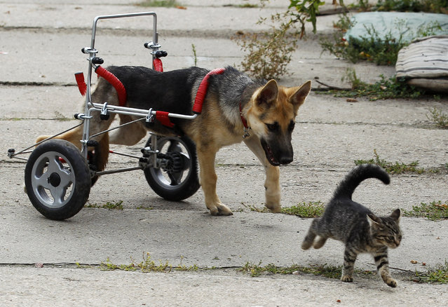 Ciuchcia (Steam train engine), a four-month-old dog, chases a cat in a courtyard after being helped onto a specially made wheelchair at Schronisko, a shelter for homeless animals, near Piotrkow Trybunalski, Poland August 26, 2011. Ciuchcia's rear legs were paralyzed after it was physically abused and abandoned with its two siblings on a train track. (Photo by Peter Andrews/Reuters)