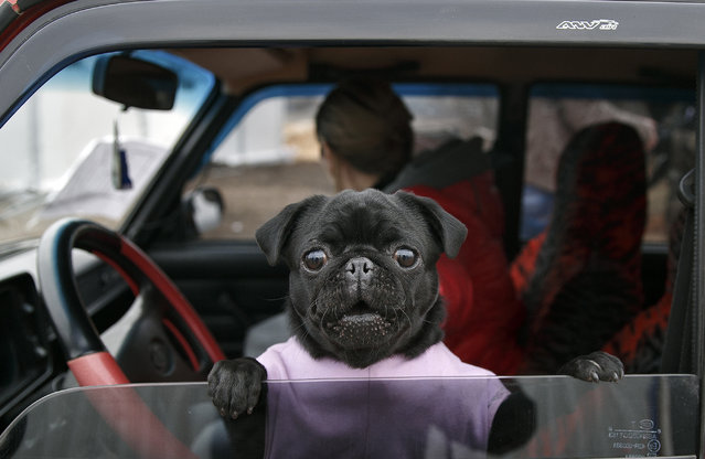 A small dog peers from a car at an Ukrainian army checkpoint near Kurakhove, Ukraine, Tuesday, March 3, 2015 on a road leading to Russia-backed separatists held territory. (Photo by Vadim Ghirda/AP Photo)