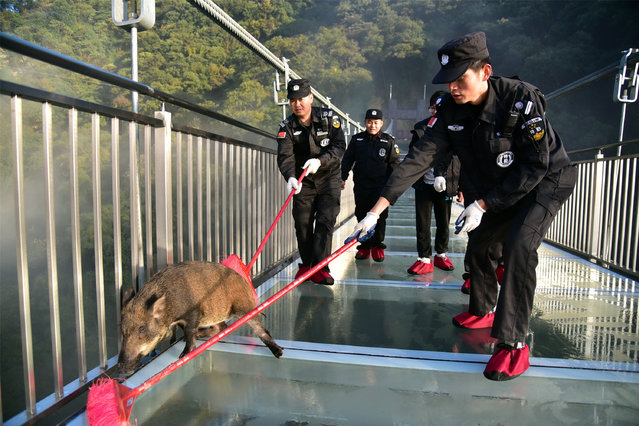 Security guards with brooms help a wild boar get off a glass bridge at Gulong gorge on November 29, 2018 in Qingyuan, Guangdong Province of China. (Photo by Zeng Linghua/VCG via Getty Images)