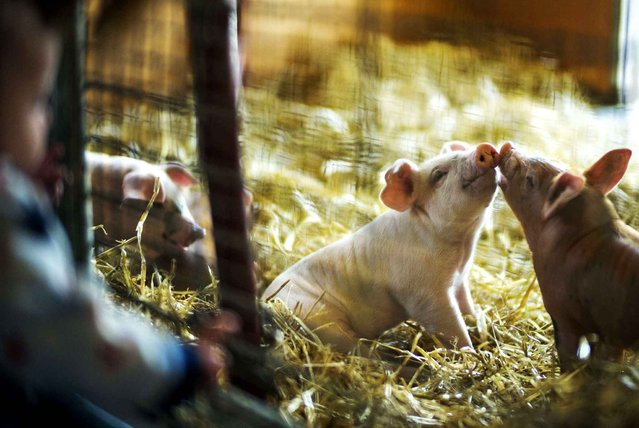 At the Wells Fargo family farm at the Minnesota Zoo, two little piglets got to know each other as Logan Camp looked in the pen, Apple Valley, Minn., Wednesday, April 1, 2015. (Photo by Richard Tsong-Taatarii/AP Photo/The Star Tribune)
