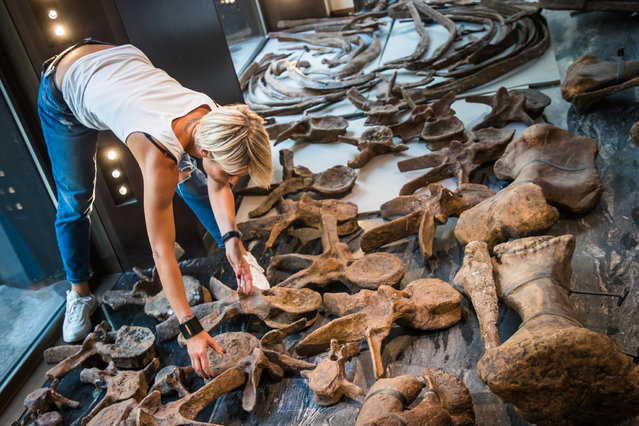 """Staff members work on sorting and assembling the skeleton of a fossilized Triceratops dinosaur, in Paris, France, 31 August 2021. The skeleton of a Triceratops, an over 66 million years old dinosaur, knicknamed """"Big John"""", will be auctioned at the Drouot Auction House on 21 October 2021 and is estimated to fetch a total of 1.5 million euros. (Photo by Christophe Petit Tesson/EPA/EFE)"""