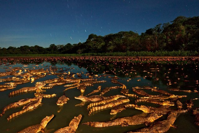 """Thirty years ago the yacare caiman appeared to be heading for oblivion"", writes Roff Smith in the July issue of National Geographic magazine, ""ruthlessly hunted to supply a lucrative market for crocodilian leather. Their numbers dropped alarmingly"". But ""a Brazilian government crackdown on poaching and a 1992 global ban on the trade of wild crocodilian skins eased the pressure on the beleaguered yacare population. (Photo by Luciano Candisani/National Geographic)"