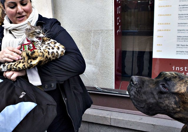 A cat hisses at a Great Dane dog in the queue while waiting to be anointed outside the Saint Anton church in Madrid, Friday, January 17, 2014. It is the animal's patron saint day in which thousands of people all over Spain bring their pets to churches to be blessed. (Photo by Paul White/AP Photo)