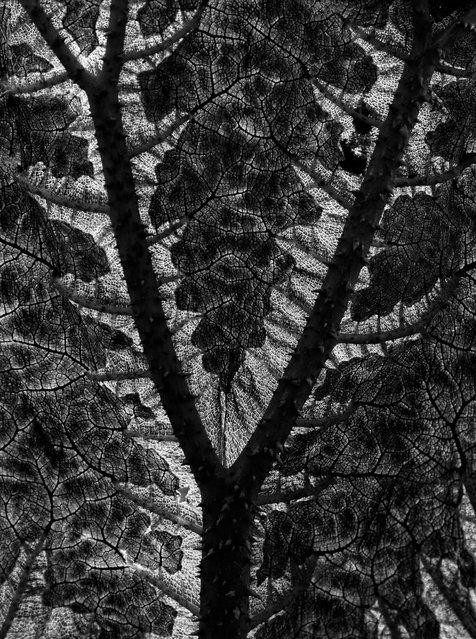 Gunnera, Aberglasney Gardens, Wales. (Photo by Ludwig Esser/The International Garden Photographer of the Year)