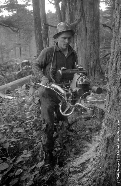 1939: A logger uses a chain saw to fell a tree in the forests of British Columbia, Canada
