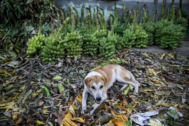A dog waits for his owner at a banana market in Yangon April 29, 2015. (Photo by Soe Zeya Tun/Reuters)