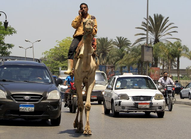 A man uses a mobile phone while riding a camel through a traffic jam in downtown Cairo, Egypt May 20, 2015. (Photo by Mohamed Abd El Ghany/Reuters)