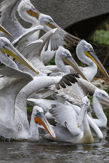 In this undated photo provided by the Schoenbrunn Zoo a flock of pelicans is pictured at the zoo in Vienna, Austria. The zoo has euthanized its flock of 20 Dalmatian pelicans after examinations showed them infected with bird flu. A statement says the birds were put down Friday, March 10, 2017, a day after the first one was found with the disease. (Photo by Daniel Zupanc/Schoenbrunn Zoo via AP Photo)
