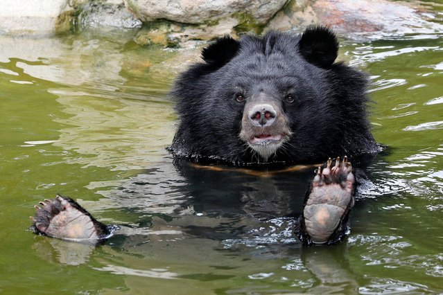 A moon bear rests in a pool inside an enclosure at the Vietnam bear rescue centre, in Tam Dao national park, Vinh Phuc, Vietnam, 09 July 2019. The center is operated by international organization Animals Asia. There are currently 184 bears living at the the Vietnam Bear Rescue Centre. It is estimated that there are less than a few hundred bears left in the wild in Vietnam. According to the latest data from the Ministry of Agriculture and Rural development, around 600 bears are still being kept on farms. In Vietnam, Animals Asia has rescued a total of 209 sun bears and moon bears. (Photo by Minh Hoang/EPA/EFE/Rex Features/Shutterstock)
