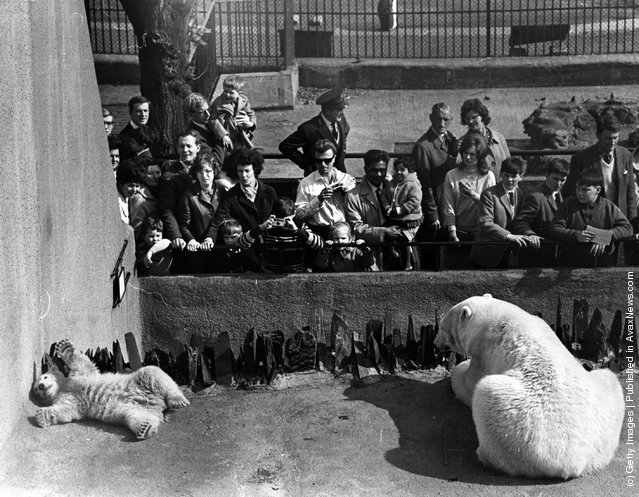 1968: Huge crowds formed at the London Zoo on the debut of Pipaluk, the baby polar bear