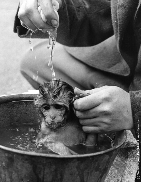 August 1959:  A little rhesus monkey who lives at Whipsnade Zoo and is called 'Susie' is having a bath while holding the hand of her keeper who is gently pouring water over her