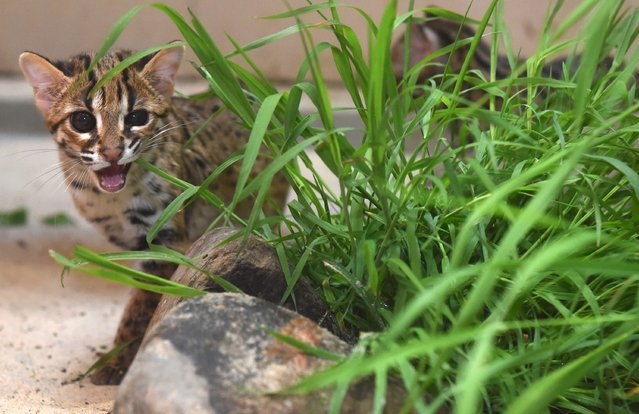One of two young Young Palawan Leopard cats called Ilian and Taytay sits in its enclosure at zoo Tierpark Berlin in Berlin, Germany, 29 April 2014. (Photo by Tim Brakemeier/EPA)