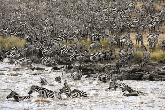 The stampede by Lillian Quinn in Maasai Mara national reserve, Kenya. Shortlisted for young photographer of the year: a stampede of a herd of zebras crosses the reserve. The zebras, hoping to dodge crocodiles as they head to the other side of the river, make the journey once a year. (Photo by Lillian Quinn/2019 Royal Society of Biology Photography Competition)