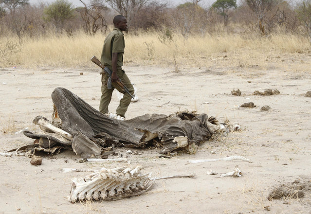 In this Sunday, September 29, 2013 file photo, a game ranger walks by a rotting elephant carcass, in Hwange National Park, Zimbabwe. Zimbabwean officials say poachers killed five elephants by poisoning them with cyanide. Violet Makoto, spokeswoman for Zimbabwe's forestry commission, said Monday, May 30, 2016 that rangers discovered the carcasses of the elephants with their tusks removed in a western forest last week. No arrests have been made. (Photo by AP Photo)