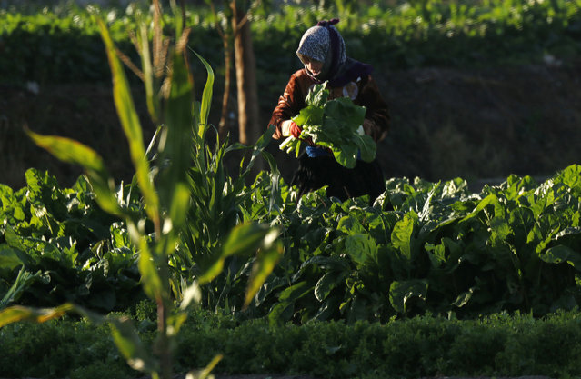 A woman works at an agriculture field in Aleppo November 8, 2014. (Photo by Hosam Katan/Reuters)