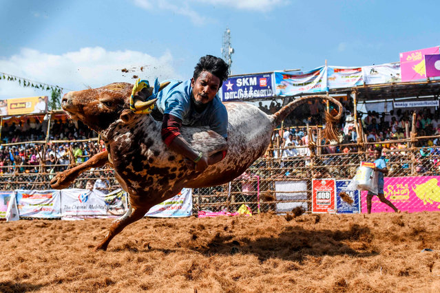 "A participant jumps trying to control a bull during the annual bull taming ""Jallikattu"" festival in Palamedu village on the outskirts of Madurai in the southern Indian state of Tamil Nadu on January 16, 2020. (Photo by Arun Sankar/AFP Photo)"