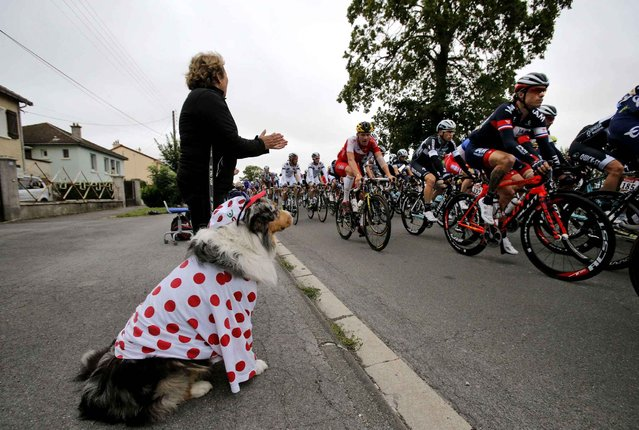 A dog, wearing the best climber's dotted jersey, sits roadside as its owner applauds the passing pack of riders during the seventh stage of the Tour de France cycling race over 234.5 kilometers (145.7 miles) with start in Epernay and finish in Nancy, France, Friday, July 11, 2014. (Photo by Christophe Ena/AP Photo)