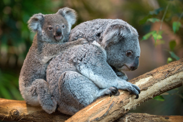 Alinga, the female koala which was born on October 19, 2013 and left her mother's pouch in May 2014 rides on her mother's back in the Zoo parc of Beauval in St Aignan on July 19, 2014. It is a rare koala birth in France. (Photo by Guillaume Souvant/AFP Photo)