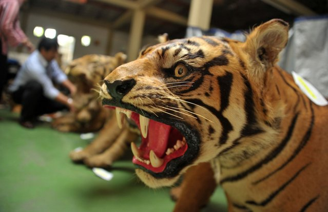 This photo taken on July 25, 2012 one of 14 preserved bodies of critically-endangered Sumatran tigers seized as members of the Indonesian national police and the special crime unit inspect the scene at a warehouse in Cibubur, south of Jakarta. Indonesian police seized 14 preserved bodies of critically-endangered Sumatran tigers in a raid on a house near Jakarta, a spokesman said on July 19. (Photo by Bay Ismoyo/AFP Photo)